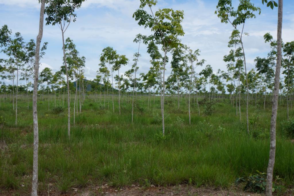 Kautschukbäume einer Plantage von Timberfarm (© timberfarm.de)
