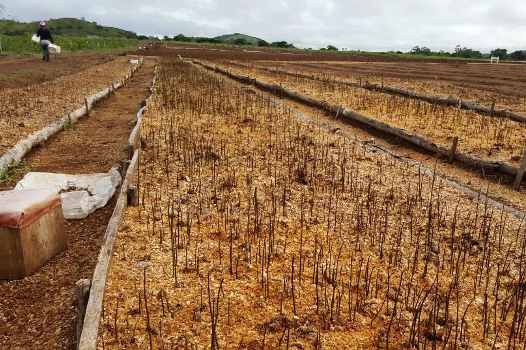 Fruehphase einer Kautschukplantage von Timberfarm (© timberfarm.de)