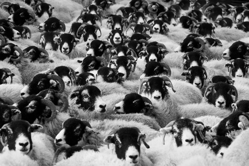 Schafherde in schwarzweiß